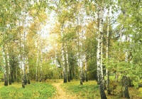 Фотообои, Русские берёзы 16 листов, 196х280см