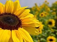 Насіння соняшника  Лакомка Семечка Подсолнух