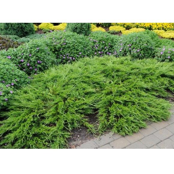 Можжевельник казацкий Аркадия (Juniperus sabina Arcadia)