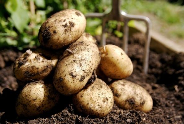 Созревание картофеля Винета