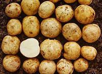 Картофель сорта Винета