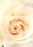 Фотообои, Роза Невеста 4 листа,141х97см