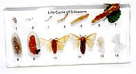 """Колекція """"Розвиток комах з повним перетворенням. Модель Шовкопряд"""""""