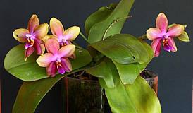 """Уценка Подростки орхидеи. Сорт Liodoro (ароматный восковик) 1.7"""" без цветов"""