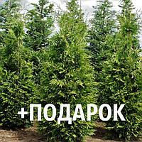 Туя западная семена 10 шт для выращивания саженцев Thúja occidentális насіння на саджанці + подарок