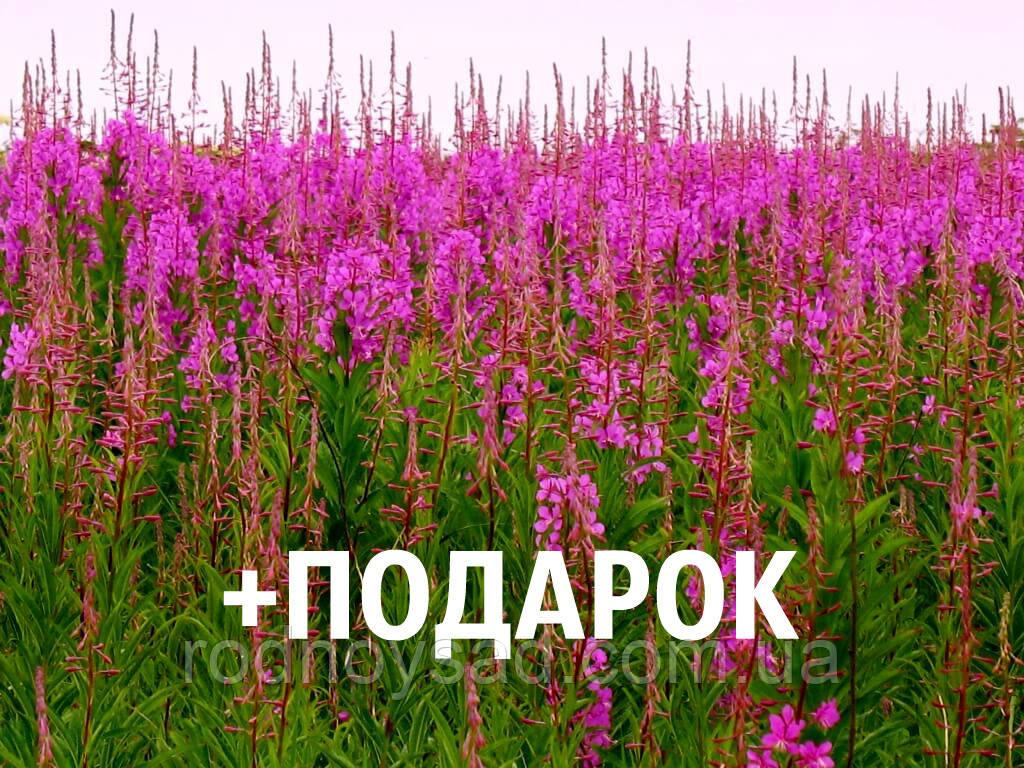 Иван-чай семена 10 шт (кипрей узколистный копорский) насіння Chamaenérion angustifolium + подарок