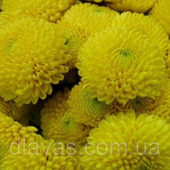 Хризантема корейская желтая