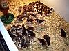 Инкубатор автоматический на 1000 яиц інкубатор, фото 4