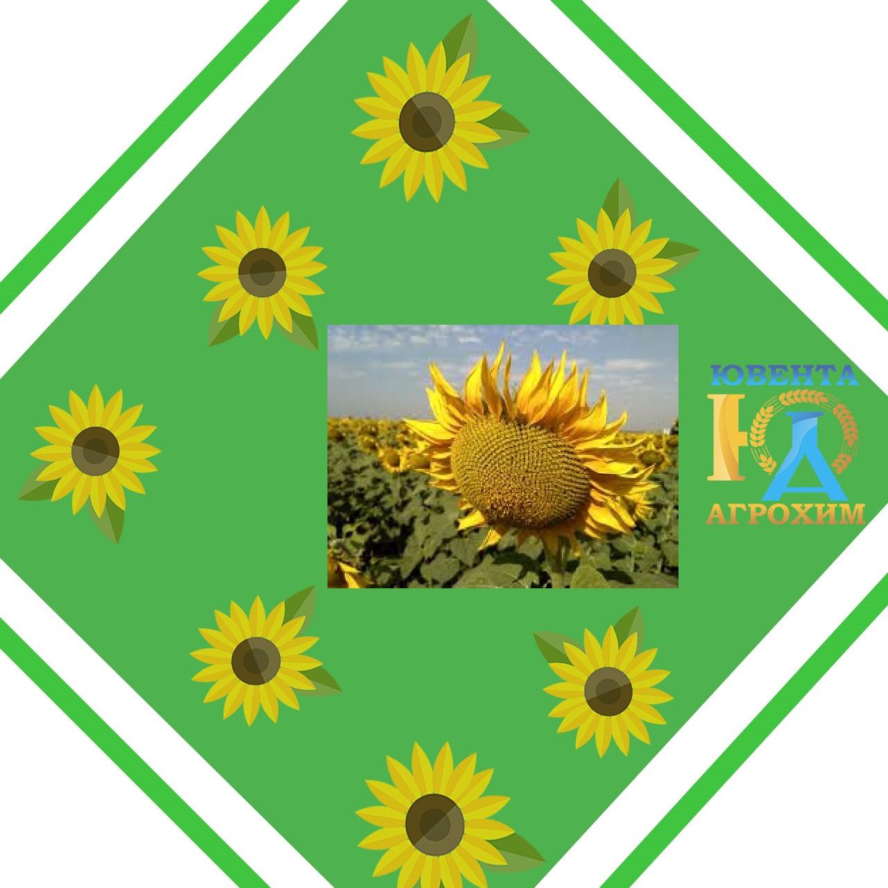 Семена подсолнечника Таленто (обработан Круизером)