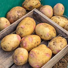 Семенной картофель Пикассо 1кг AGRICO