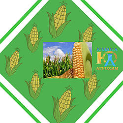 Кукурудза ЛОТАР урожай 2014 року