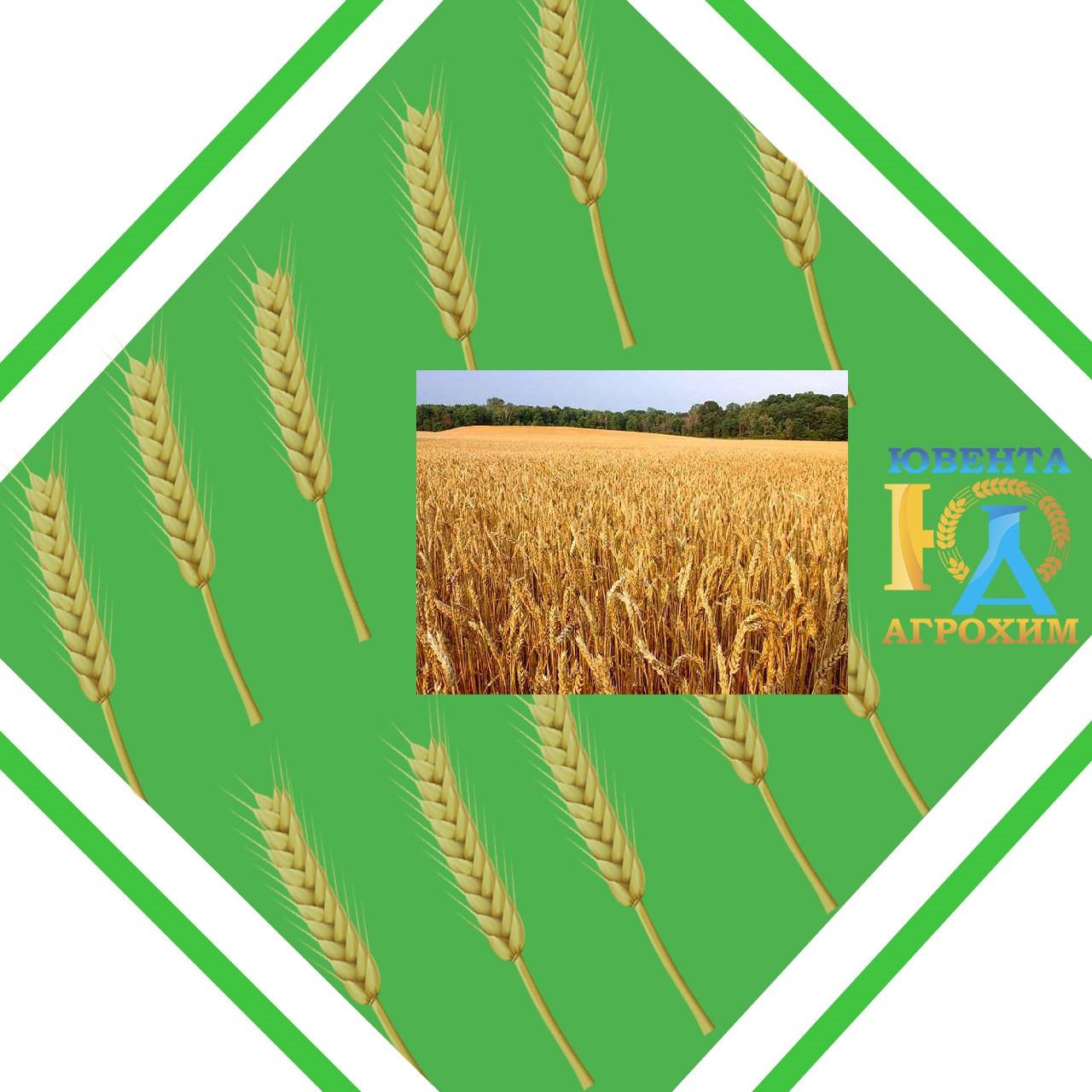 Семена озимой пшеницы Антоновка (Элита)