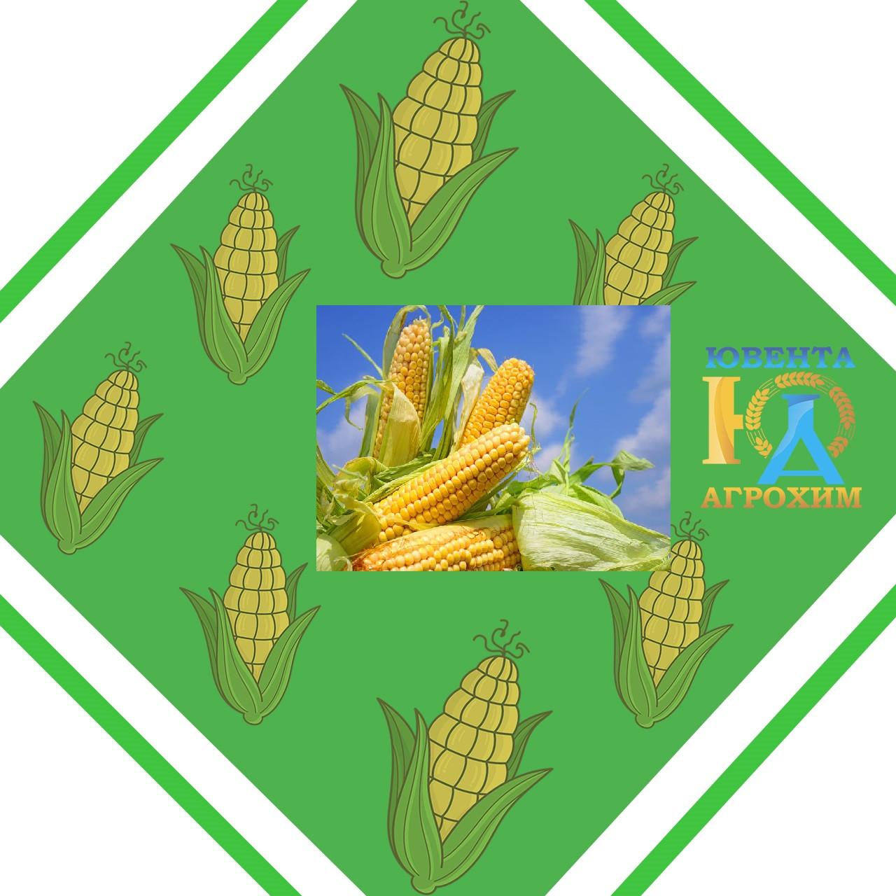 Семена кукурузы Евростар