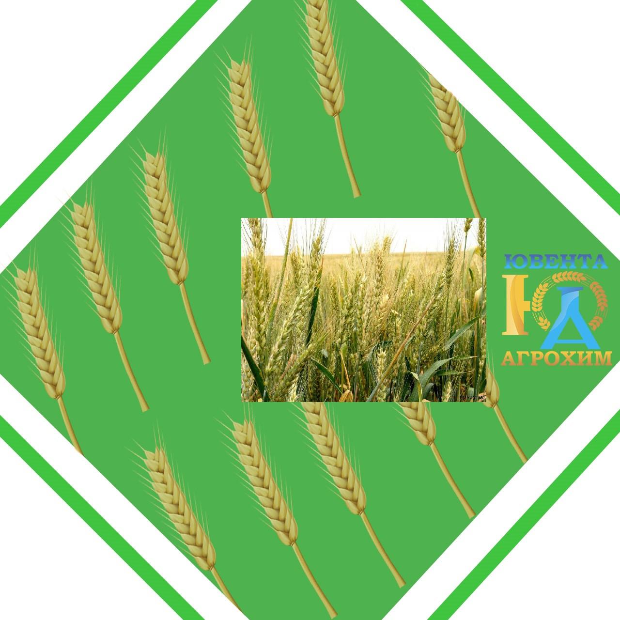 Семена озимой пшеницы Одесская 267 (1 репродукция)