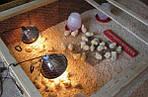 Эффективный обогрев домашних птенцов