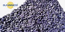 НС СУМО 2017 (Техн. SUMO, 50 грм) - (Экстра+) Семена подсолнечника., фото 2