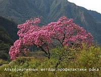 Лапачо - муравьиное дерево 250