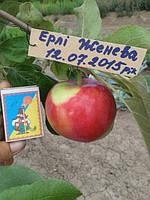 Саженец яблони Эрли Женева (США)