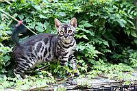 Уникальный угольный бенгальский котенок