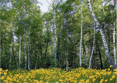 Фотообои, цветы, Берёзы, Лесные красавицы 8 листов, 134 x 194cm, фото 2