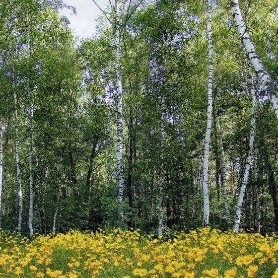 Фотообои, цветы, Берёзы, Лесные красавицы 8 листов, 134 x 194cm