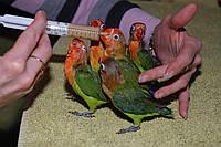Папуга нерозлучник Фішера або помаранчевоголовий нерозлучник, ручні пташенята годованці 1 міс.