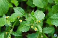 Галінсога мелкоцветковая