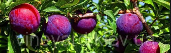 Слива, абрикос, персик, миндаль, нектарин, ранний, среднеспелый, поздний, срок созревания, посадить, обрезать, сколько стоит