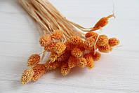 """Сухоцвет """" Фалярис """"  ,  оранжевый      33 шт"""