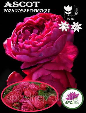 Роза романтическая Ascot, фото 2