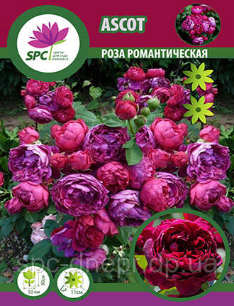 Роза романтическая Ascot