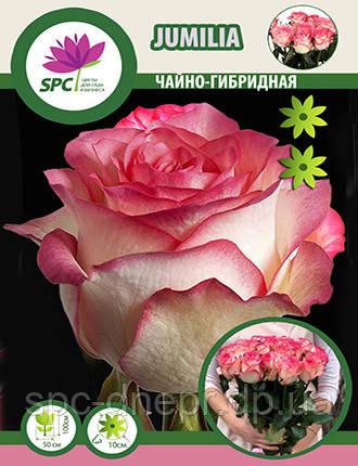 Роза чайно-гибридная Jumilia, фото 2