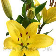 Лілія азійська, жовта