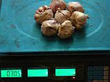Чеснок посадочный сорт Любаша, - зубок 1репродукция 3-4см, фото 3