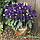 Эустома горшечная Флорида F1, семена, фото 5