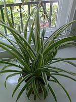 Хлорофитум хохлатый  variegatum