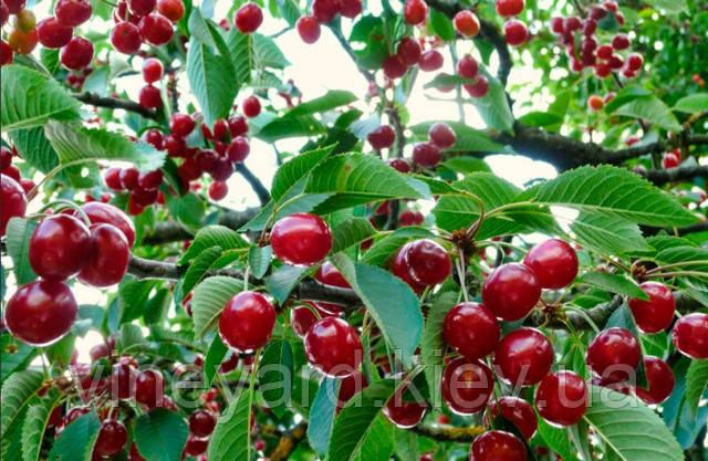 дерево плодовое, фруктовое, розы, вишня, сорт, черивишня, гибрид, черешня, Гриот Мелитопольский, абрикос, слива сладкая, ранняя, устойчивая, северная