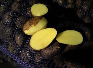 Раннеспелый картофель Джелли