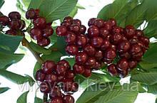 Талисман (Надежда), ДВУХЛЕТНИЕ саженцы черешни. Промышленный сорт на подвое вишня магалебская, сертификат