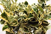 """Апельсин Вариегатный (Пёстролистный) Citrus sinensis """"Foliis variegatis"""" 20-25 см. Комнатный, фото 1"""