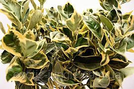 """Апельсин Вариегатный (Пёстролистный) Citrus sinensis """"Foliis variegatis"""" 20-25 см. Комнатный"""