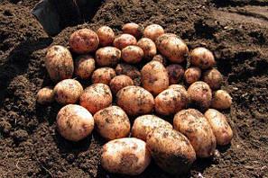 Посадки и уход за картофелем сорта Аврора