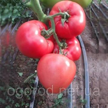 Панамера F1 250 шт семена томата высокорослого розового Clause Франция