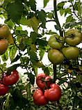Панамера F1 250 шт семена томата высокорослого розового Clause Франция, фото 3