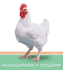 Видео-обзор по разведению бройлера КОББ-500.