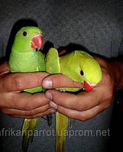 Ожереловый попугай Крамера.  (малыши)