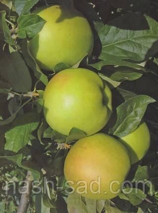 Саженцы яблони Скифское золото (Украина)