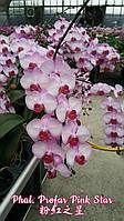 """Орхидеи горшок 2.5"""" без цветов. Сорт Profar pink star"""