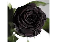 Долгосвежая роза Черный Бриллиант в подарочной упаковке 228-1841221