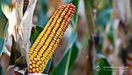 Врожайність кукурудзи в Україні перевищила минулорічний показник
